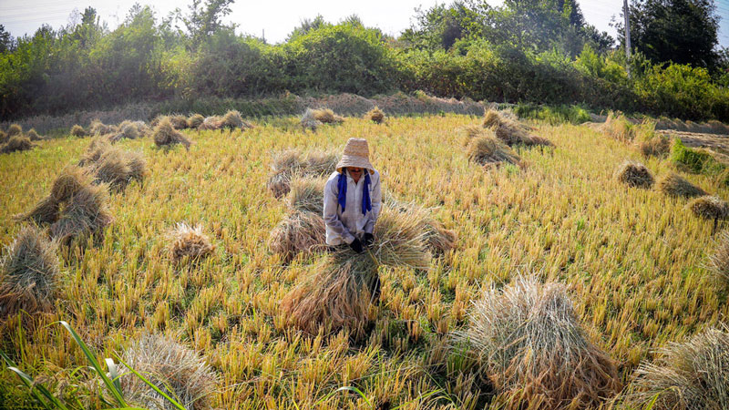 Join the Agro Tour of Rice Cultivation in Gilan