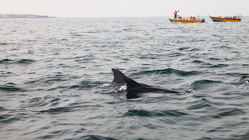 Swimming dolphins around Hengam island