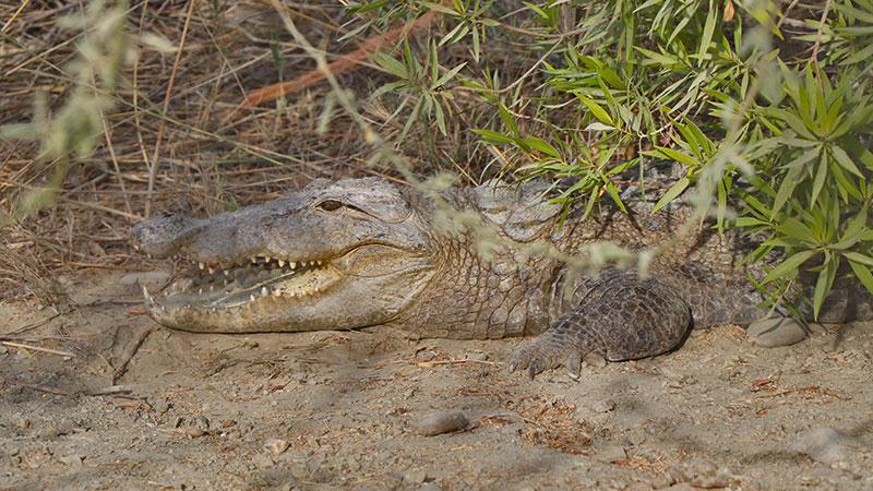Gandou, Iran's Mugger Crocodile