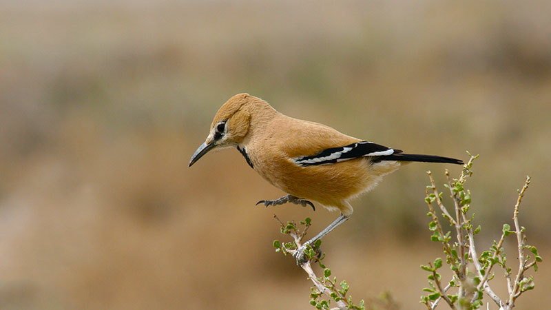Iranian Ground Jay, the National Iranian Bird