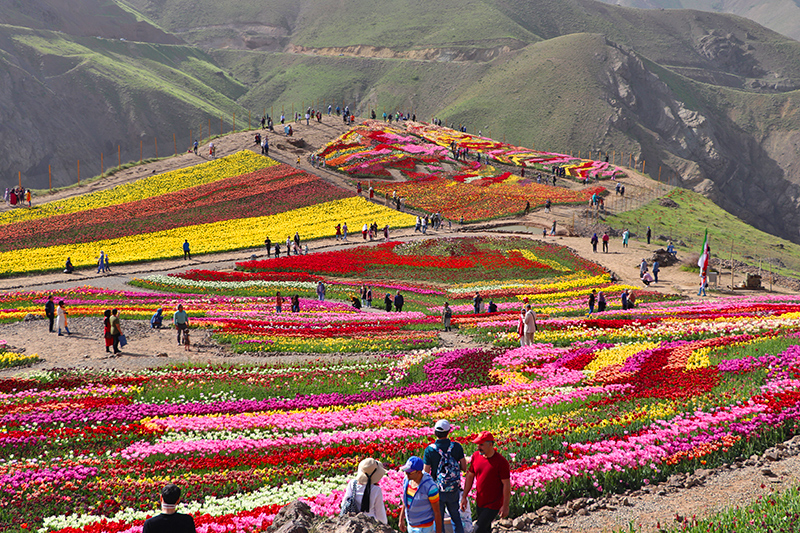 A Garden of Millions Tulips between the Gorges of the Mountains