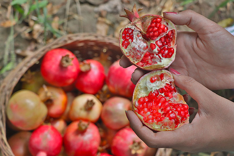 Pomegranate and Persian Culture Strong Band