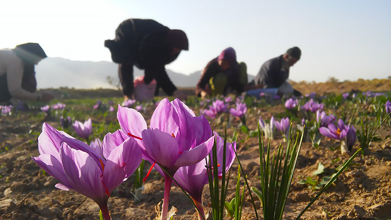 Pick the Red Gold of Saffron in Khorasan Fields